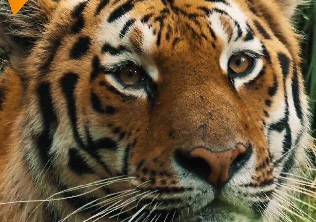 Záchrana amurských tygrů