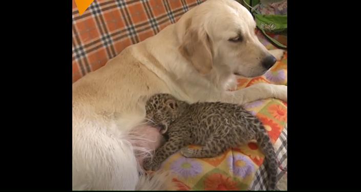 Tohoto leoparda vychovala obyčejná fenka