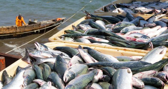 Sezóna pro lov lososů na Kamčatce