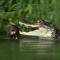 Rodina vyder zabila krokodýla, který zaútočil na jednu z nich. Neuvěřitelné video