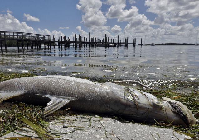 Mrtvá ryba na pláži ve Floridě