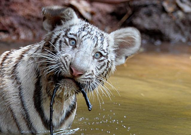 Bílý tygr v Hajdarábádu.