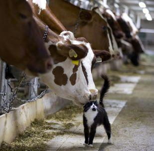Kráva strká čumákem do kočky na farmě v Granby