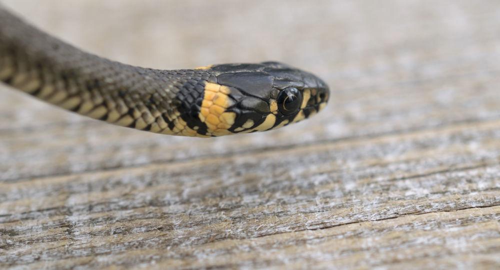 Had. Ilustrační foto