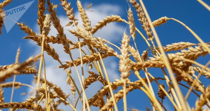Pšenice v Rusku