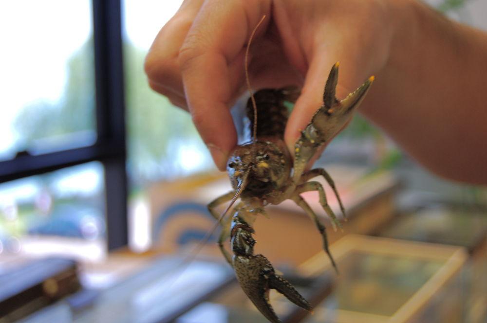 Sladkovodní rak Orconectes rusticus
