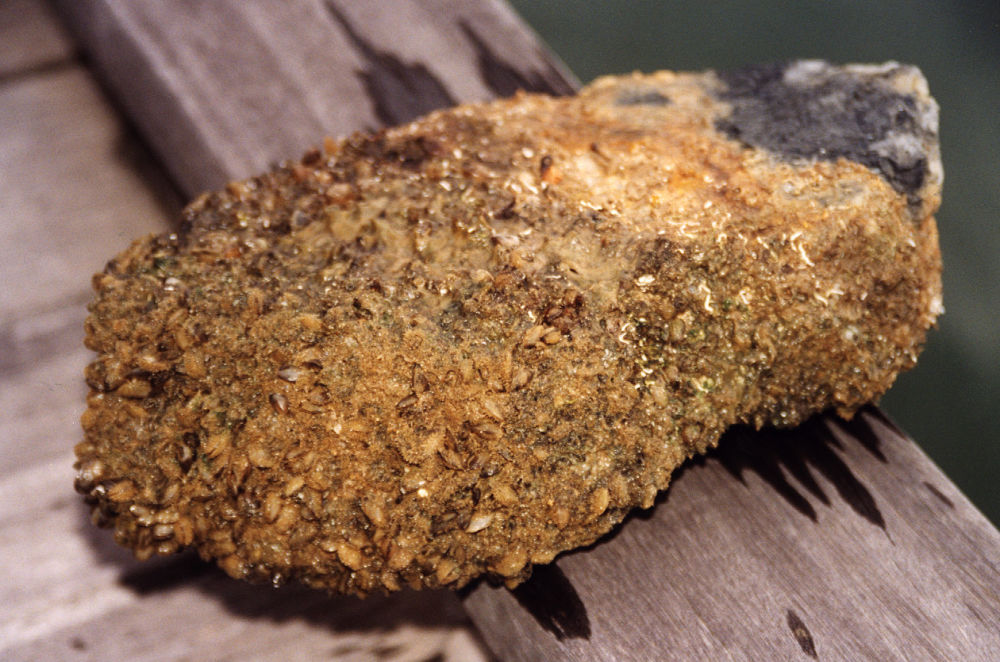 Mořský měkkýš Mytilopsis sallei