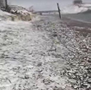 Ruské pobřeží zaplavili sledi