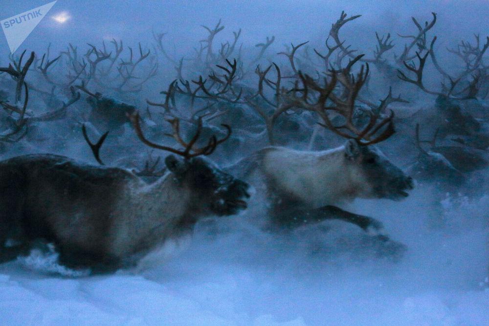 Polární sobové v ruském Murmansku