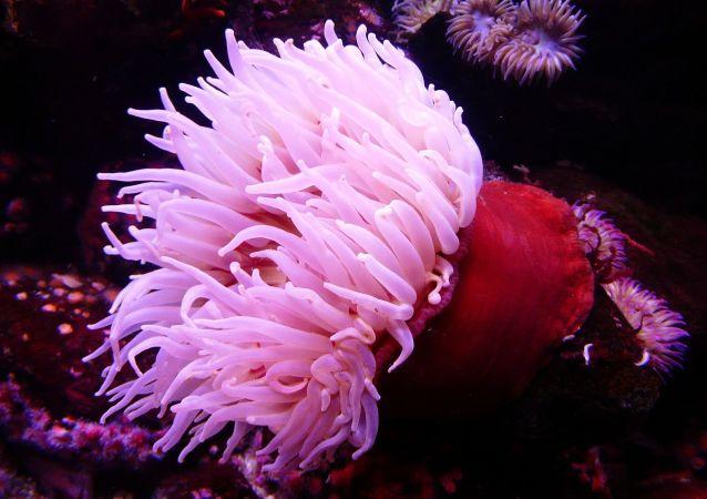 tropická mořská sasanka