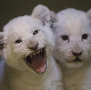 Bílá lvíčata v hodonínské zoo!