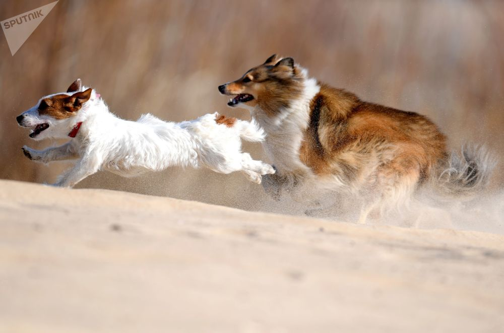 Jack Russell teriér a Sheltie během výcviku psů v Kazani, Rusko