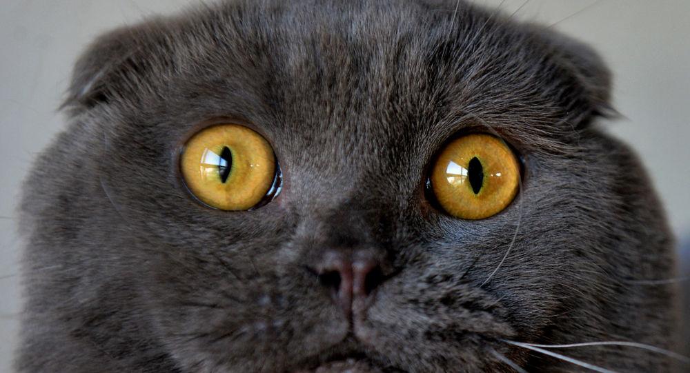 Skotská klapouchá kočka. Ilustrační foto