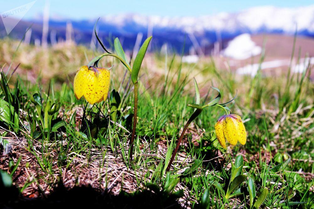 Květiny na pastvině Abago v severní oblasti Kavkazské chráněné krajinné oblasti.