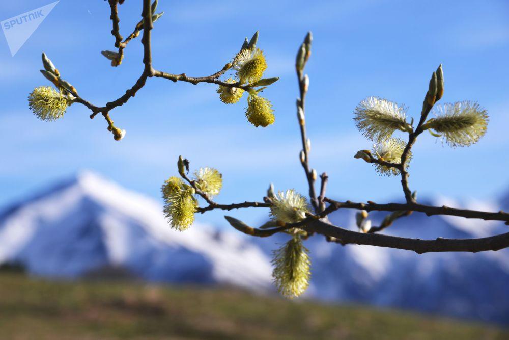 Rašící vrba na pozadí zasněžených hor v Kavkazské chráněné krajinné oblasti.
