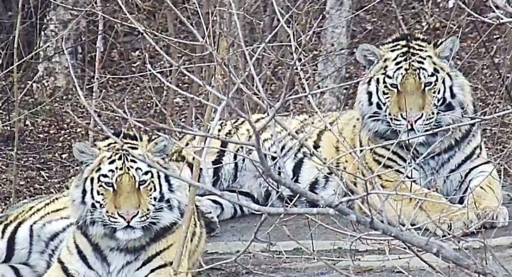 Amurští tygři Pavlík a Jelena
