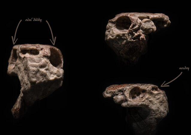 Zkamenělá lebka čelistnatého obratlovce stará přes 400 milionů let, kterou vědci objevili u Prahy, mění pohled na evoluci zubů.