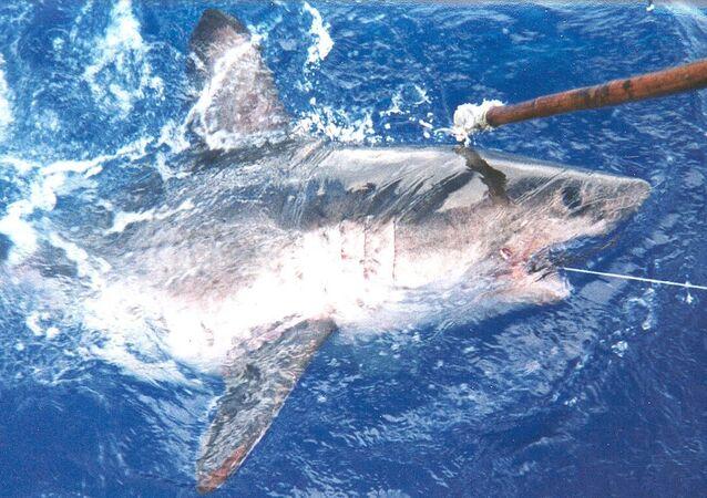 Žralok tichooceánský