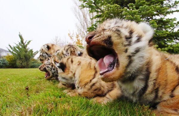 Tygříci amurští v parku Tajgan na Krymu.  - Sputnik Česká republika