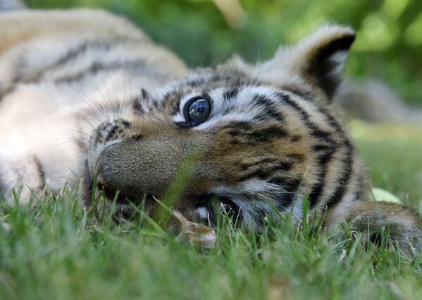 Tygřík v parku Tajgan na Krymu.  - Sputnik Česká republika