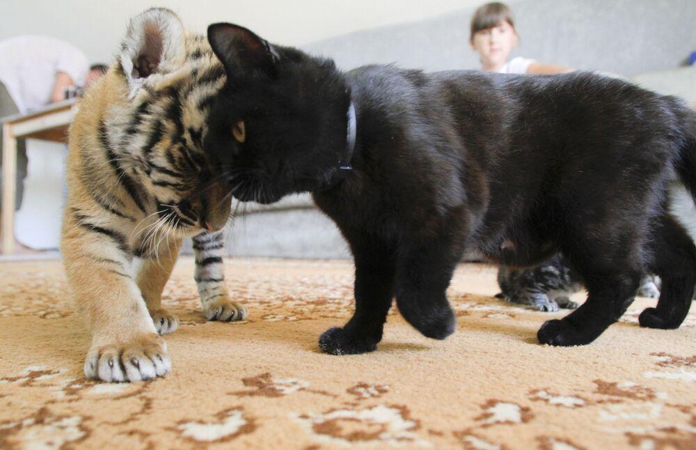 Tygřík amurský si hraje s kočkou. Soči, Rusko.