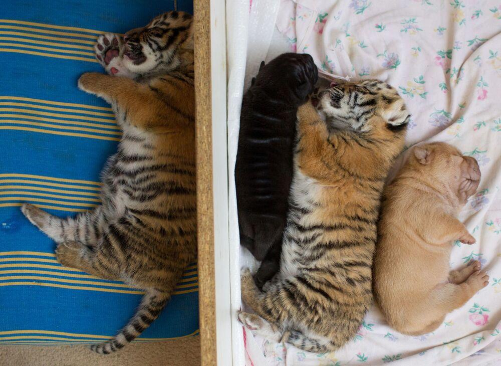 Novorozená tygřata a štěňata šarpie.