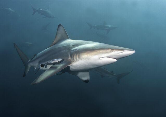 Žralok černocípý