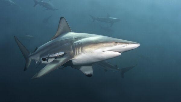 Žralok černocípý - Sputnik Česká republika