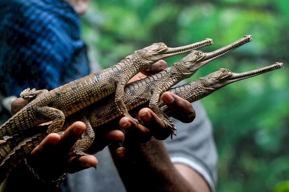 Pracovník zoo v indickém městě Čennai s krokodýlími mláďaty.