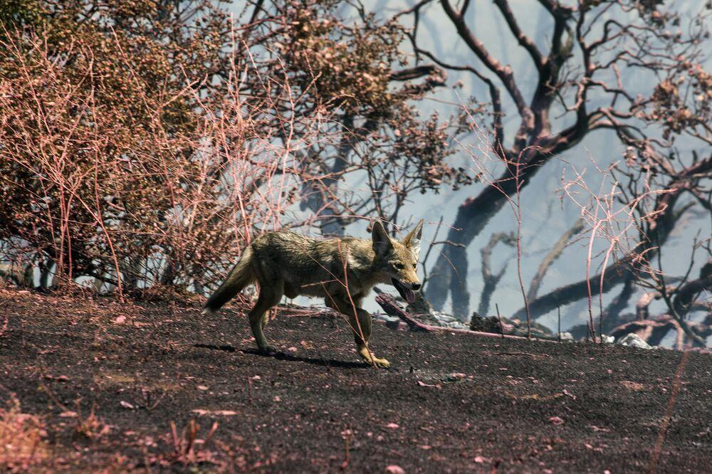 Kojot utíká před požárem v Kalifornii