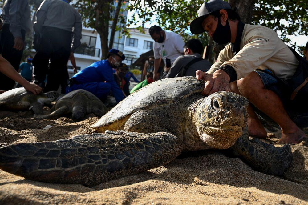 Lidé hodlají vypustit na svobodu velké mořské želvy, karety obrovské, které byly zabaveny pašerákům. Bali, Indonésie