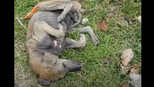 Tento pes již nedůvěřoval lidem a jeho záchrana si vyžádala mnoho času - Sputnik Česká republika