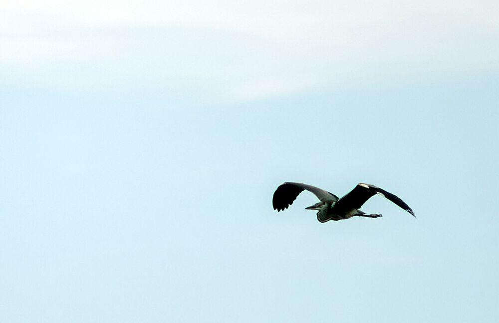 Volavka nad Kurským zálivem v národním parku Kurská kosa v Kaliningradské oblasti.