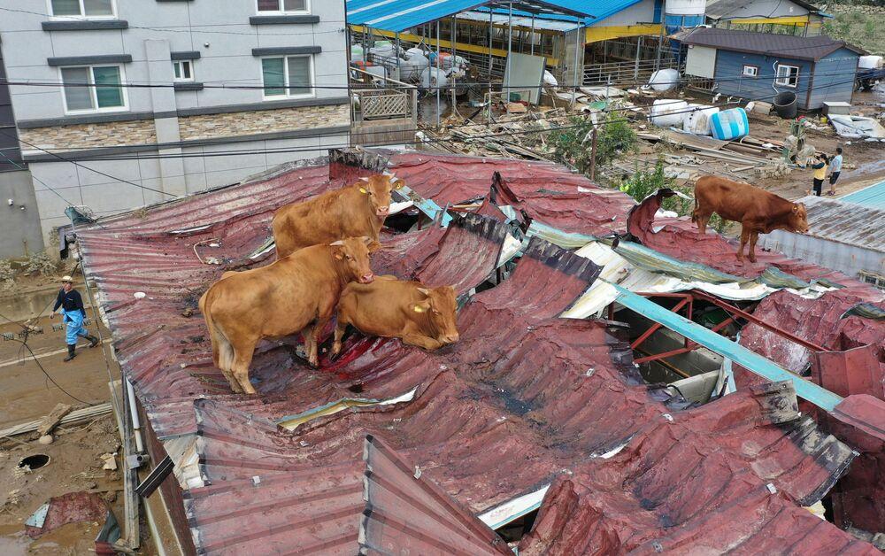 Krávy, které uvízly na střeše kvůli povodním v Jižní Koreji.