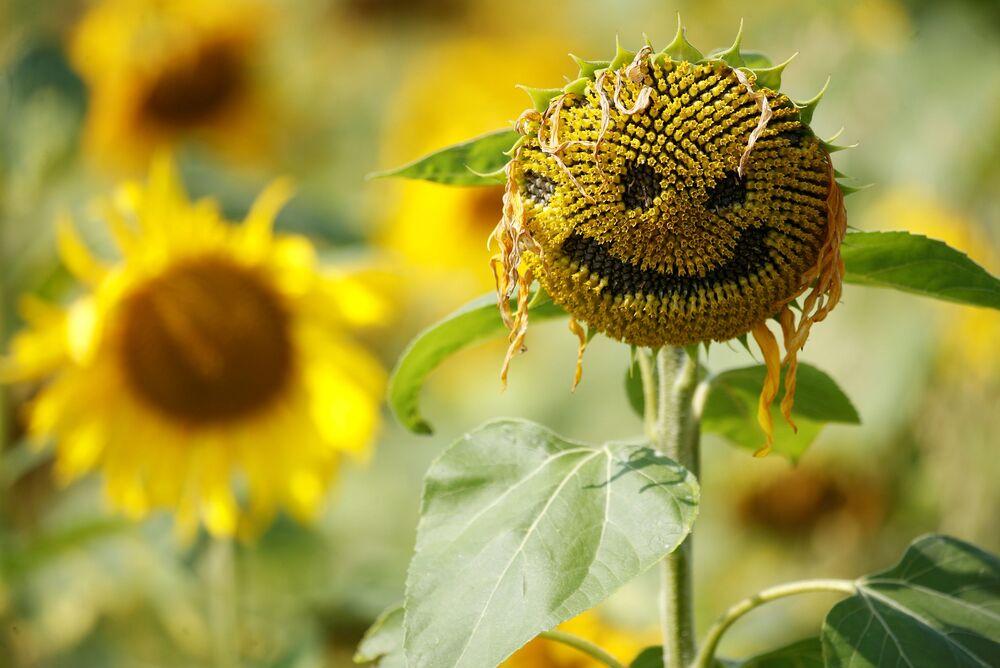 Smajlík na slunečnici v Dunham Massey, Velká Británie.