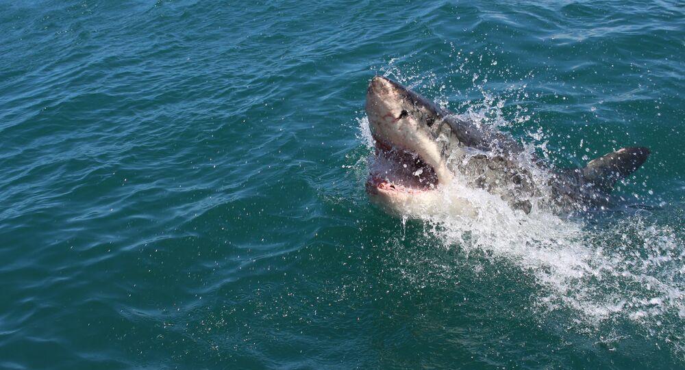 Velký žralok bílý