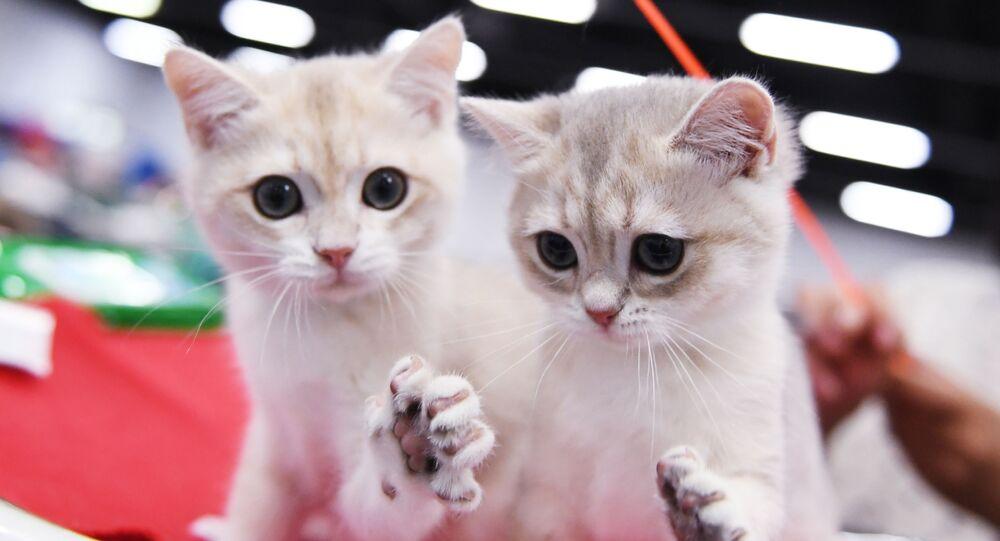 Britské kočky na mezinárodní výstavě Star 2018 v Moskvě
