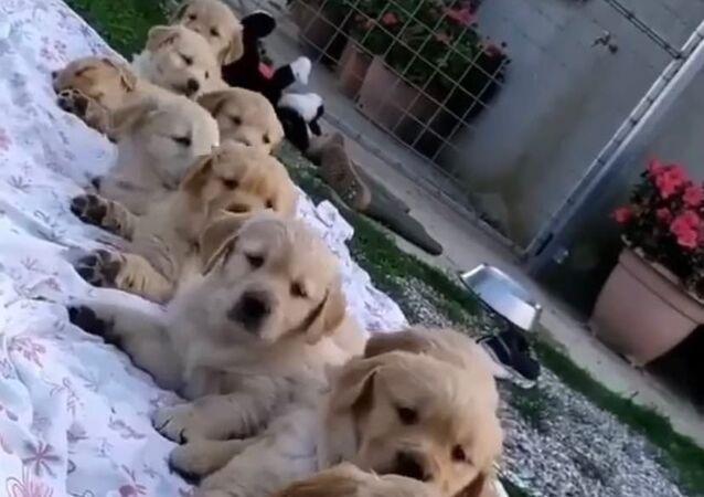 Jsou k sežrání! Video, na kterém se hromada štěňátek probudí na přivolání majitele, dojalo internet