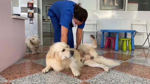 Tento statečný zlatý retrívr udivuje: Nikdo neočekával takovou radost z návštěvy veterináře - Sputnik Česká republika