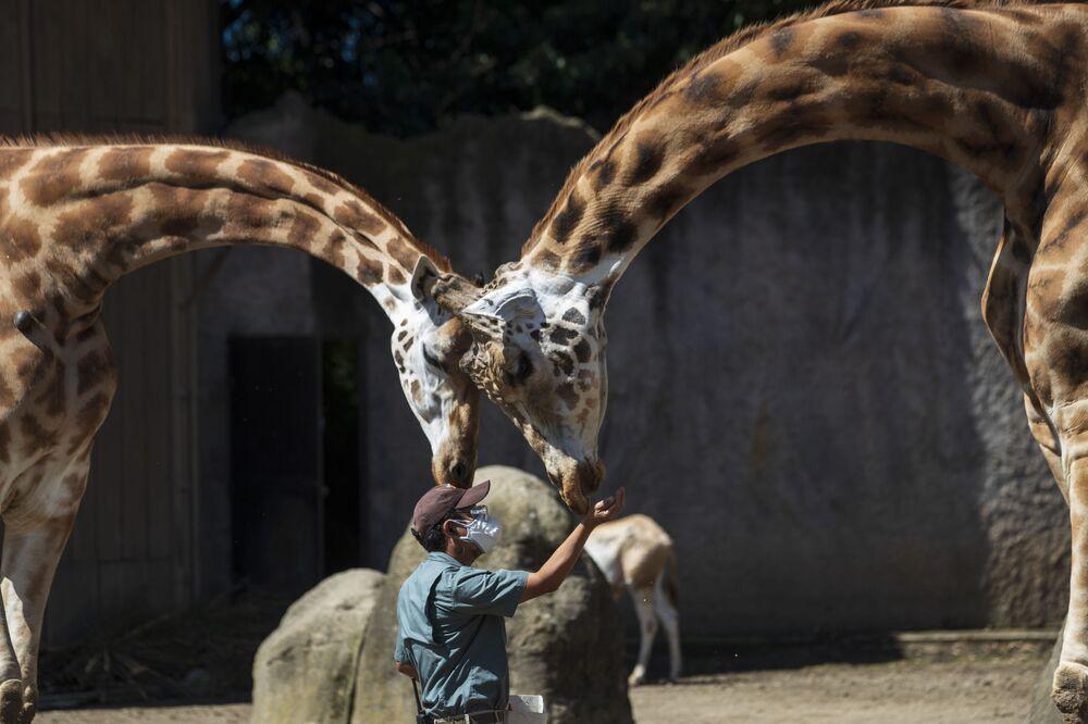 Chovatel krmí žirafy v zoo La Aurora v Guatemale