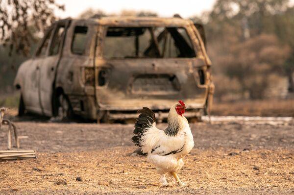 Kohout na pozadí vyhořelého auta ve Vacaville v Kalifornii - Sputnik Česká republika