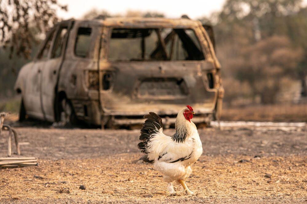 Kohout na pozadí vyhořelého auta ve Vacaville v Kalifornii