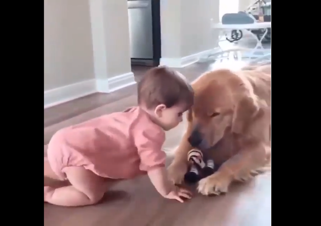 Zlatý retrívr půjčuje dítěti svou hračku