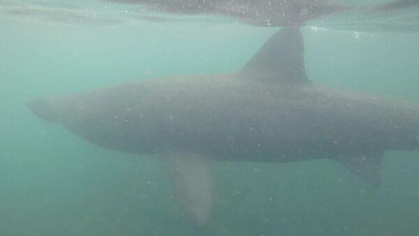 Neuvěřitelné setkání. Pětimetrový žralok veliký byl zachycen kamerou, když u pobřeží Skotska plaval nedaleko potápěče - Sputnik Česká republika