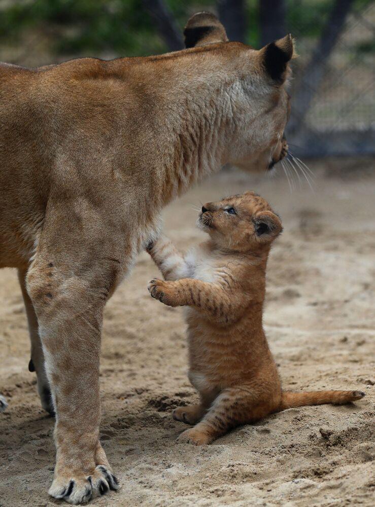 Lvíče se svou matkou Khalilou.