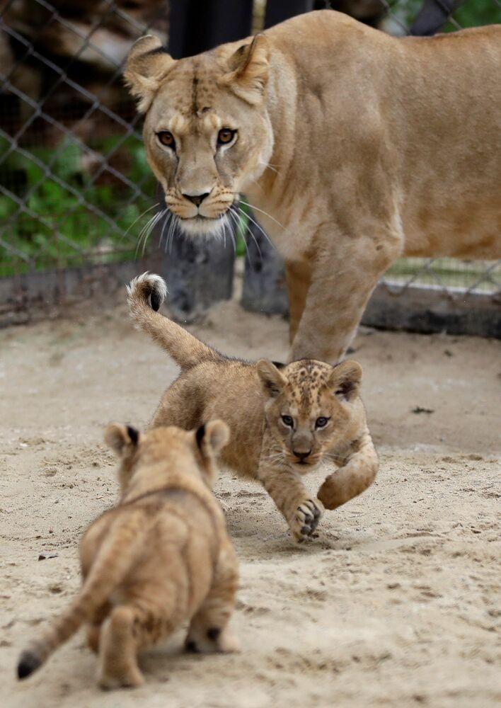 Lvíčata se svou matkou Khalilou.
