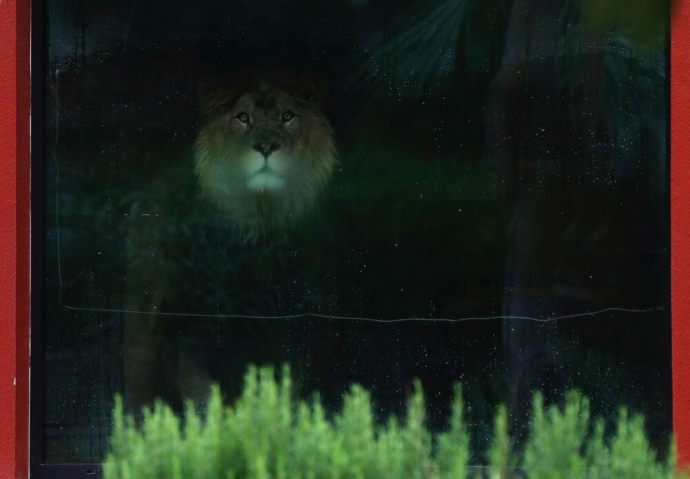 Samec lva berberského zatím zůstává oddělen.