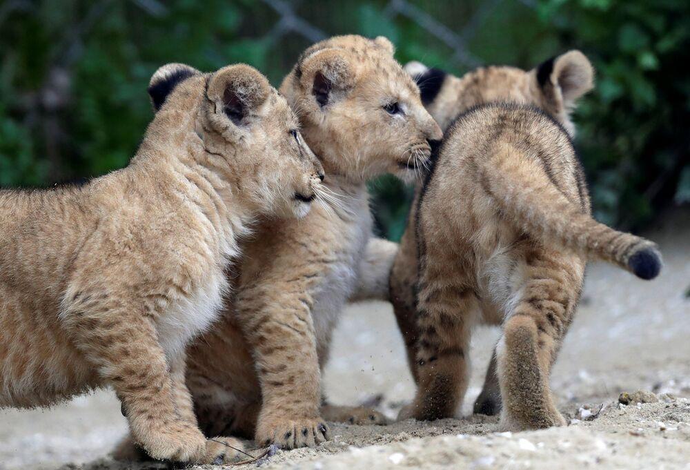 Mláďata lvů berberského se poprvé podívala do venkovního výběhu.