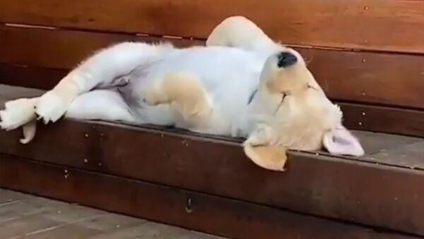 Spící štěně zlatého retrívra - Sputnik Česká republika