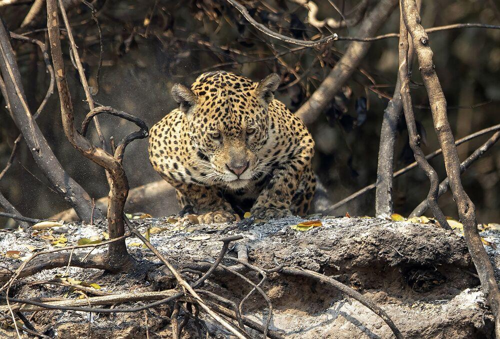 Jaguár leží na popelu po lesním požáru v Brazílii, spolkový stát Mato Grosso
